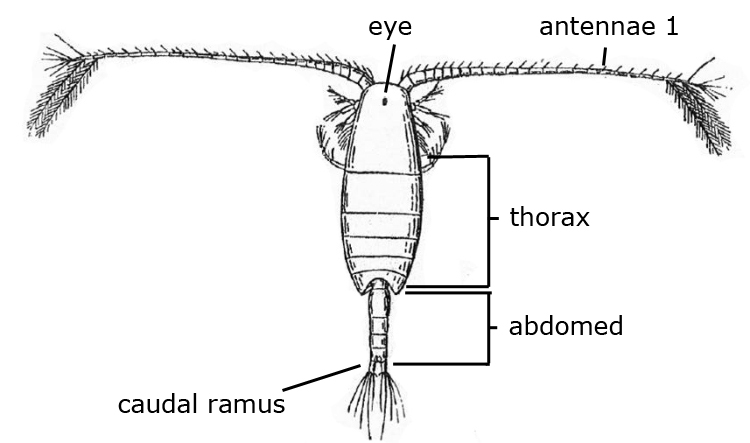 Introduction to copepods - Nobanis