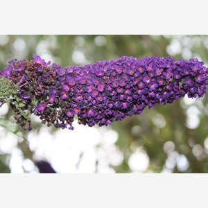 A picture of buddleja davidii